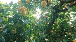Lemonbatake